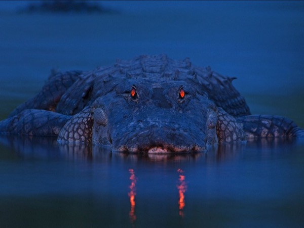 Sleepwalker Fights with Alligators